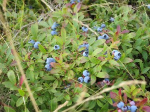 Schoodic: Maine Blueberries